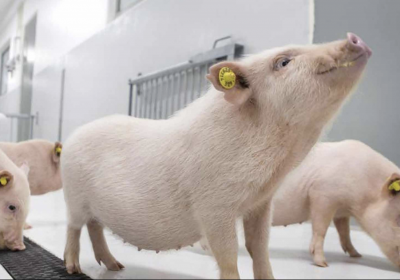 A dedicated wearable device for minipigs